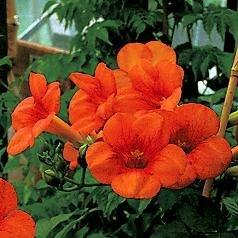 60-80 Trompetenblume im Topf Cont Kletterpflanzen