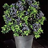 20seed/bag highbush blueberry fruit seeds dwarf blueberry seed