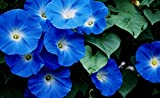 Heavenly Blue Morning Glory, Large Packet of 1,500 Seeds Untreated - by Seeds2Go
