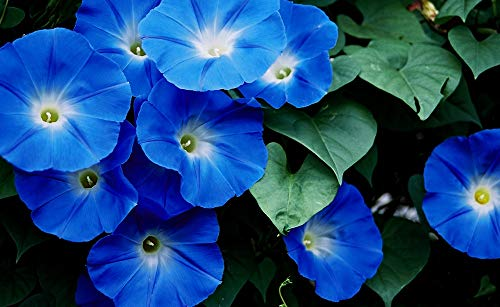 - Heavenly Blue Morning Glory, Large Packet of 1,500 Seeds Untreated - by Seeds2Go