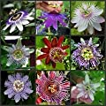 Rare Passiflora incarnata Maypop 10pcs/bag - Beautiful Passion Vine Fruit Flower Seeds