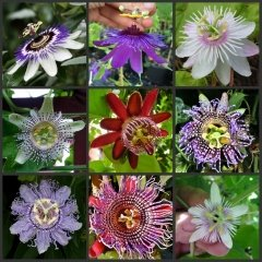 Rare Passiflora incarnata Maypop 10pcs/bag - Beautiful Passion Vine Fruit Flower Seeds