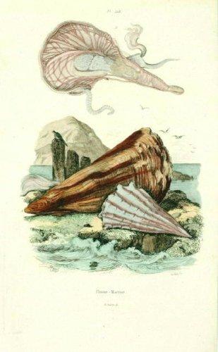 NATURAL HISTORY-ANTIQUE PRINT- PEN SHELLS- Guerin-1839 - Natural Shells Shell Pen