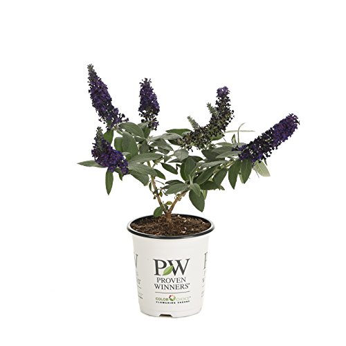 Pugster Blue Butterfly Bush (Buddleia) Live Shrub, Blue Flowers, 4.5 in. Quart