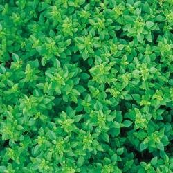 (Herb Seeds - Basil Greek - 500 Seeds)