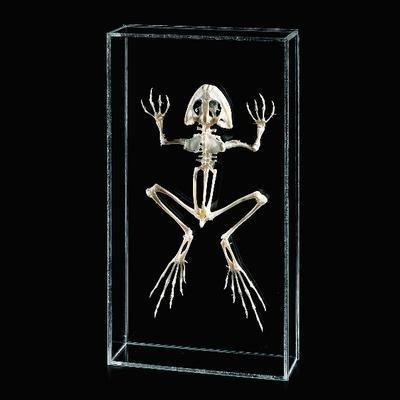 470027-920 - WARDâS Bullfrog Skeleton - Ward's Bullfrog Skeleton - ()