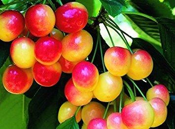 30 Rainier Cherry Seeds - My Secret (Secret Cherry)