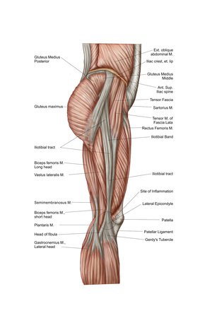 Hombre de Vitruvio muslo de anatomía los músculos, Anterior View ...