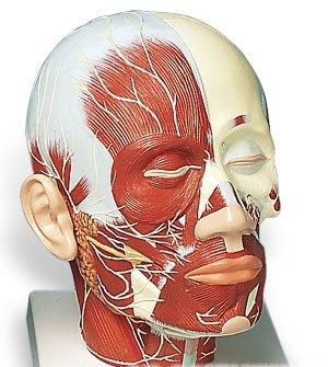3B社 頭部模型 頭頚部の筋肉モデル神経付 (vb129)   B003Z2Q4EG