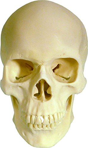 Human Skull Replica Life Size articulating Mandible jaw Anatomy Medical Studies