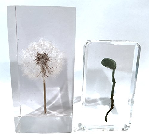 Dandelion with Sprouts - Real Dandelion and Sprouts Paperweights (Dandelion with Bean Sprout) by Dandelion Collective LLC
