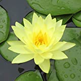 Live Water Lilies | Pre-Grown Hardy Lilies in White, Red, Yellow, Pink (Yellow)