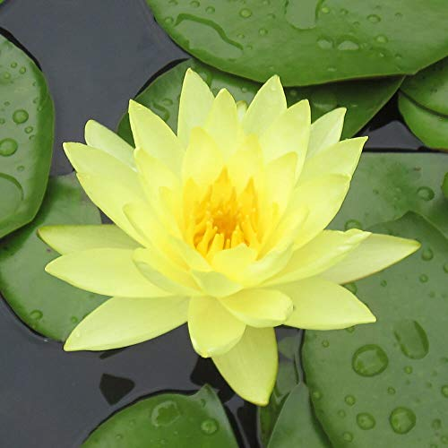 Live Water Lilies | Pre-Grown Hardy Lilies in White, Red, Yellow, Pink (Yellow) by AqualLeaf Aquatics (Image #4)