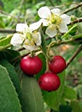 Portal Cool 100 Seeds Jamaican Cherry Muntingia Calabura Rare Tropical Fruit Sweet D421