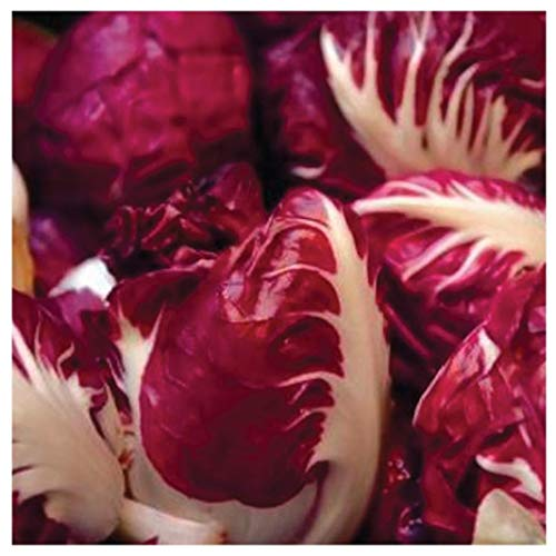 - Earthcare Seeds Radicchio Rosso di Verona 600 Seeds (Cichorium intybus) Non GMO - Open Pollinated Heirloom