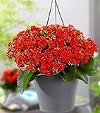 Vamsha Nature Care Live Kalancho Crassula flowering Plant Good Luck Plant