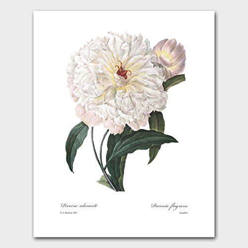 Peony Art (Antique White Wall Decor, Botanical Garden Flower) Redoute Nature Artwork -- Unframed