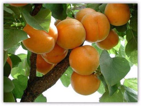 TM Apricot Seeds Apricot Tree Rare Fruit Seeds Bonsai Plant Home Garden 5pcs//Bag TranShop