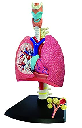 4D Human Anatomy Respiratory System: Amazon.com: Industrial & Scientific