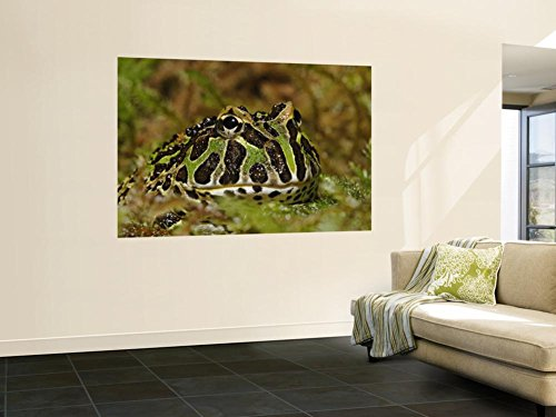 Pacman Frog Or South American Horned Frog Wall Mural by Adam Jones 48 x 72in
