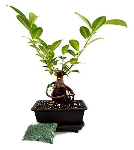 Ginseng Ficus Bonsai Live Tree Small Retusa Water Tray Fertilizer Gift - USA_Mall -