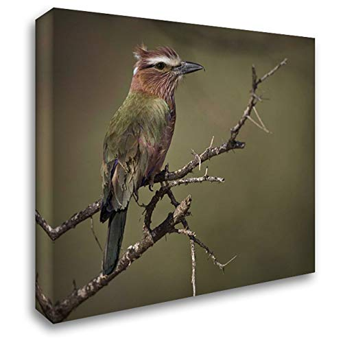 Kenya Rufous-Crowned Roller Bird on Limb 32x28 Gallery Wrapped Stretched Canvas Art by Williams, Joanne ()