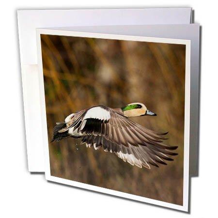 3dRose Danita Delimont - Ducks - American Wigeon Taking Flight - 12 Greeting Cards with envelopes (gc_278081_2) - Wigeon Set