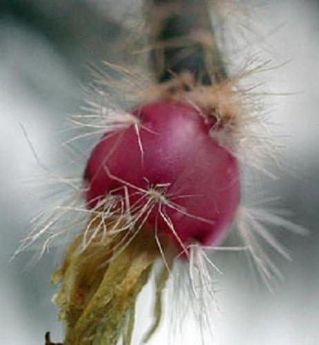 Rhipsalis pilocarpa rare epiphyllum hanging mause tail cacti aloe seed 100 SEEDS