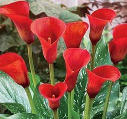 breathtaking-spectacular-calla-lily-red-alert-bulb-plant-root-start