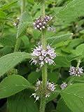 Wild Mint Seeds (Mentha ARVENSIS) a.K.a Field Mint, Corn Mint,Aromatic Perennial - 500 Seeds