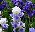 (2) Beauty Blue Mix Bearded Irises, Root Start, Rhizome, Bulb, Simply Beautiful Flowering Perennial