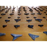 Lot of 100 - Sharp Fossil Shark Teeth