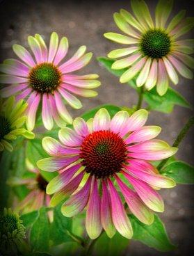Pink-Green Envy Coneflower Seed Pack