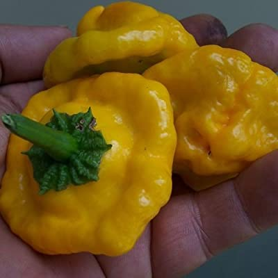 Package of 100 Seeds, Jamaican Yellow Hot Pepper (Capsicum annuum) Non-GMO Seeds by Seed Needs