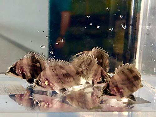 - Siam Live Aquarium 4 Pack Indonesian (Indo) Tiger DATNOID, IT, Gold, TIGERFISH, Rare, Monster Fish