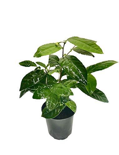 Camellia Sinensis 4