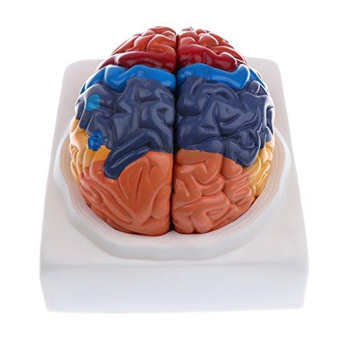 Homyl 1:1 Colored Removable 2 Parts Human Brain Brainstem Model School Teaching Display Lab Equipment