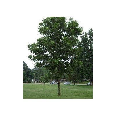 Western Schley Pecan Tree - 2 Year Old 3-4 Feet Tall : Garden & Outdoor
