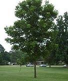 Desirable Pecan Tree - 2 Year Old 3-4 Feet Tall