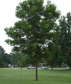 Pawnee Pecan Tree - 2 Year Old 3-4 Feet Tall