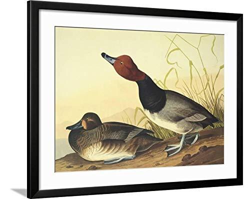 ArtEdge Red-Headed Duck John James Audubon, Black Framed Matted Wall Art Print, 24x32 (Black Headed Duck)