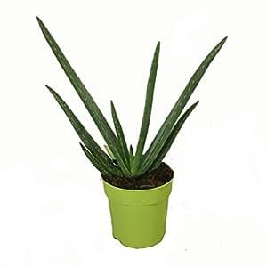 Aloe Vera Planta - Maceta 12cm. - Altura aprox. 30cm. - Planta viva - (Envíos sólo a Península)