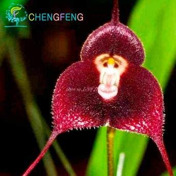 Green Seeds Co 5 Teile Beutel Mixed Bunte Affe Gesicht Orchidee