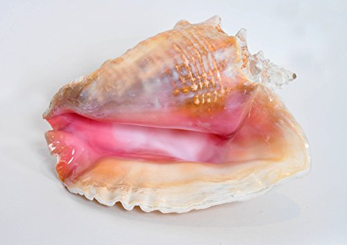 "Nautical Beach Decor BOXED Bahama Queen Conch Seashell (Pink) - Bahamas Pink Conch Shell - 7"" - 8"""