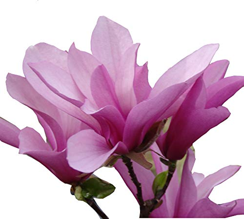 Jane Magnolia Tree - Magnolia liliflora Healthy Established Roots 1 Trade Gallon by Growers Solution