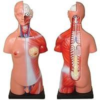 66Fit - Modelo anatómico de Torso Unisex (23