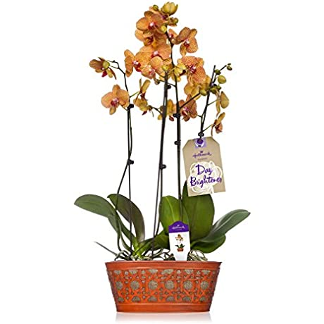 Hallmark Flowers Double Spike Salmon Orchid Duo In 10 Inch Orange Tin Container
