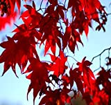 Japanese Red Maple Tree (1-2 feet tall in gallon containers)
