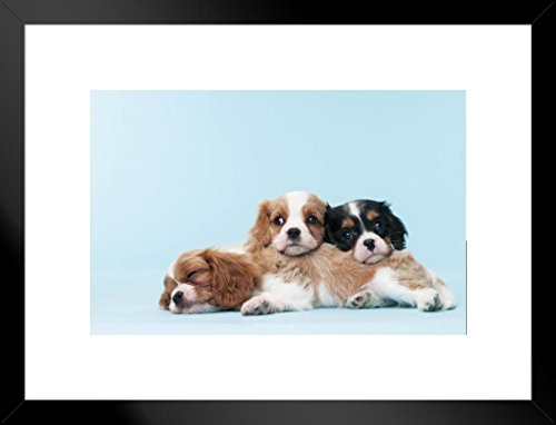 Framed Cavaliers Wall (Poster Foundry Cavalier King Charles Spaniel Puppies Relaxing Photo Art Print Matted Framed Wall Art 26x20 inch)