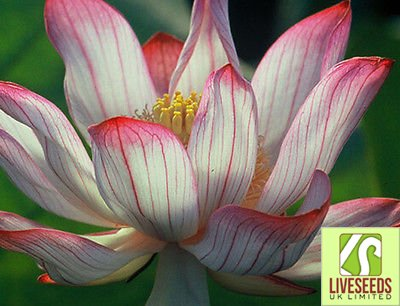 Liveseeds - Two-Colour/Red & Whit//water lily flower Bowl-Pond Lotus/5 Fresh seeds/ (Lotus Pond Plants)